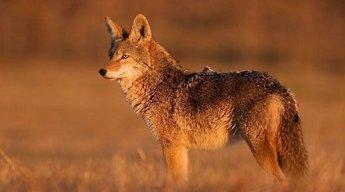 elcoyotes
